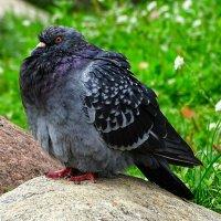 Напыщенный голубь :: Милешкин Владимир Алексеевич