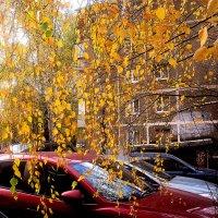 Золотой дождь берез :: Елена Семигина