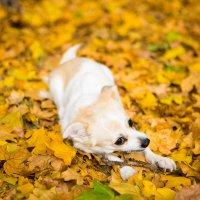 Собака грузёт палку на ковре из жёлтых листьев :: Valentina Zaytseva