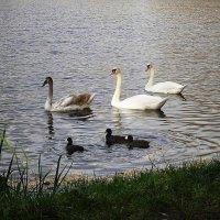 Водоплавающие на озере в парке :: Маргарита Батырева