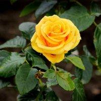 красавица Долины Роз :: Светлана Кажинская