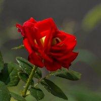 Роза :: Павел Руденко