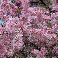 Яблони в цвету. :: Валентина ツ ღ✿ღ