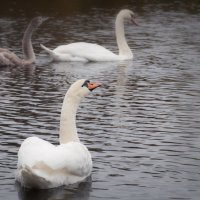 Осенние лебеди :: Kalevala .