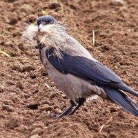 Усатая ворона.. :: donat