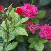 Октябрь,утро,розы... :: Тамара (st.tamara)