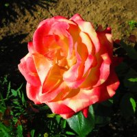 Роза. :: ВАЛЕНТИНА ИВАНОВА