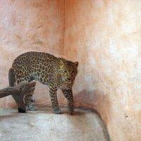 Леопард :: Олег Шендерюк