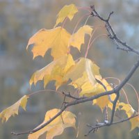 Желтый лист кленовый на ветру дрожит... :: Людмила