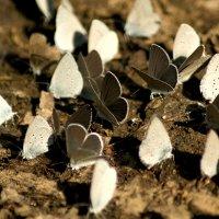 Белые бабочки :: Марина Кириллова