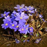 Синие цветочки :: Сергей Карачин