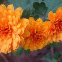Оранжевое трио :: Нина Корешкова