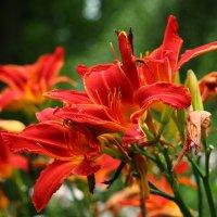 Цветы :: Олег Гулли