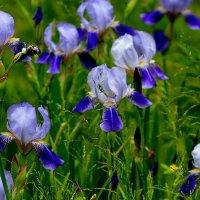 синие садовые :: Александр Прокудин