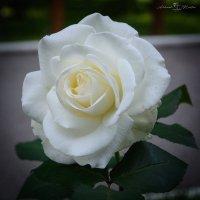 Белая роза :: Александр Мантров