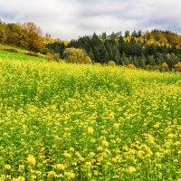 Осенний рапс. :: Ирина ...............
