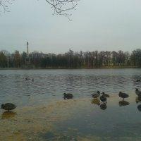 Поздняя осень и утки :: Сапсан