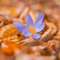 Безвременник, Колхидиум (лат. Colchicum), Осенний цвет. :: Алексей Яковлев