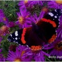 Бабочка Наполеон на октябринках :: Андрей