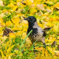 Осенняя ворона :: Владимир Брагилевский