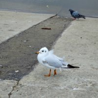 Городские птицы на дамбе... :: Тамара (st.tamara)