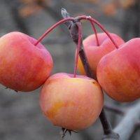 яблоня сиверса, Казахстан ЮКО :: Бахытжан