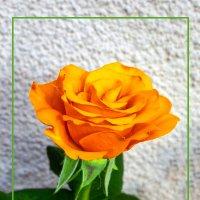 Сентябрьская роза :: Дубовцев Евгений