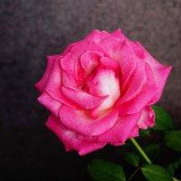 Сентябрьская роза 2 :: Дубовцев Евгений