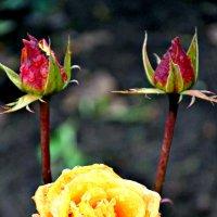 Розы в ноябре. :: Михаил Столяров
