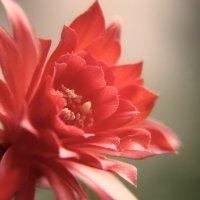 Нежность кактуса :: Mari_L