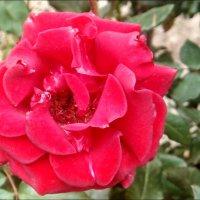 Приоткрытая душа розы :: Нина Корешкова