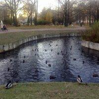 Скопление уток в парке :: Виктор Егорович