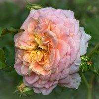 Роза в моём саду. :: Валентина Домашкина