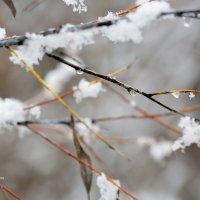 Ветка в снегу и каплях :: Александр Синдерёв