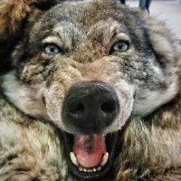 А Он был просто волк. :: Андрей