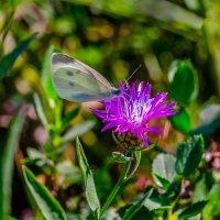 Белая бабочка. :: Владимир M