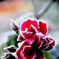 Колючая роза :: Татьяна Lion
