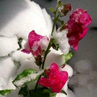Цветок ноября :: Ольга
