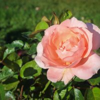 Розовая Роза :: Gaivor ina
