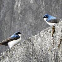 White-blue swallows :: чудинова ольга