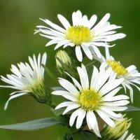 Мир цветов осенних чуден... :: Татьяна Смоляниченко