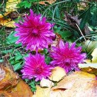 Преклонились к земле три  неувядающие хризантемы :: Маргарита Батырева