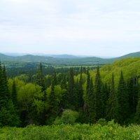 леса алтая :: vladimir polovnikov