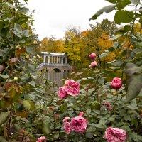 Розы в октябре :: Татьяна Петранова