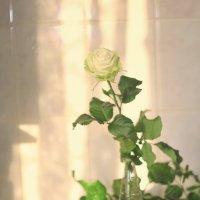 Нежные розы :: ninell nikitina