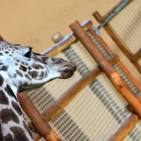 Жираф и жирафенок :: Олег Шендерюк