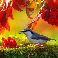 Осенние птицы. Поползень :: Влад