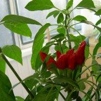 Красный горький перец :: татьяна