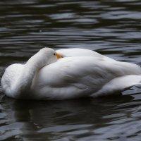 Лебедь на пруду :: Владимир Шадрин