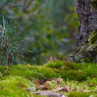 маленькая ель.. :: Екатерина Саблина